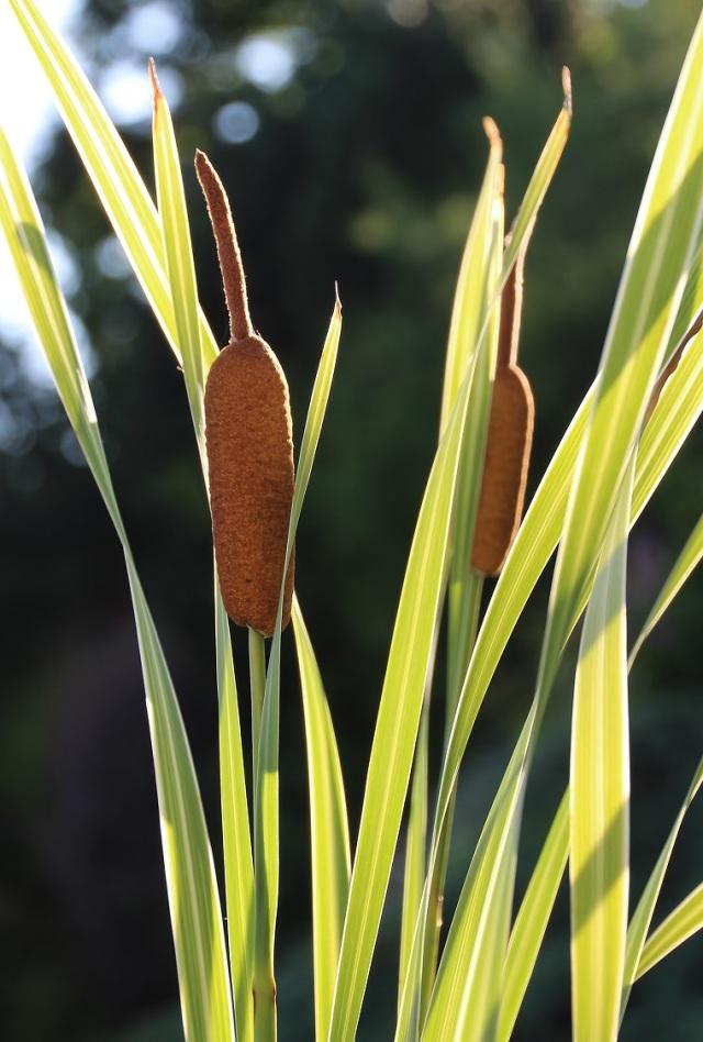 typha latifolia variegata 2