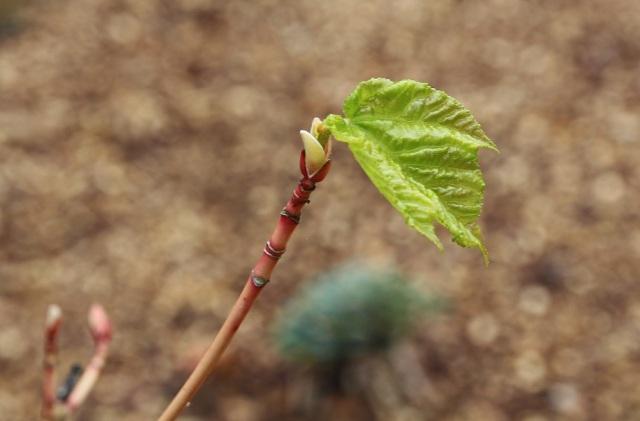 Acer conspicuum phoenix 180513