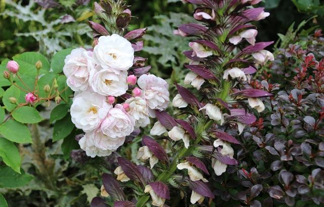 160716 rosa Blush Noisette et acanthus.JPG